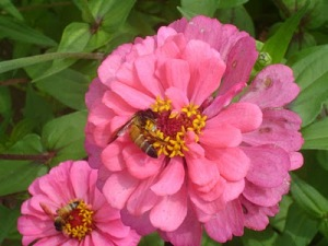 bees in the flowers